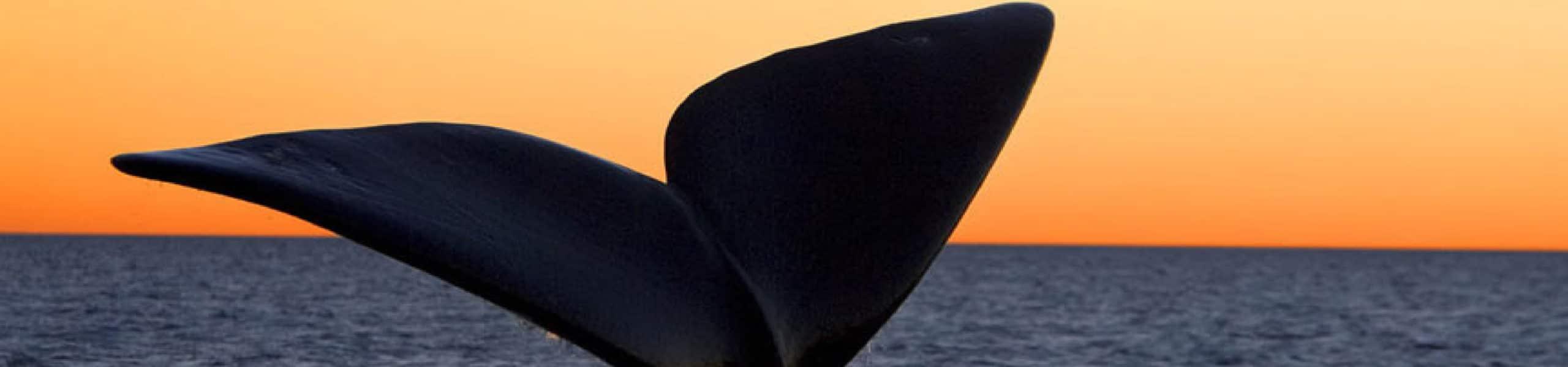 ballena