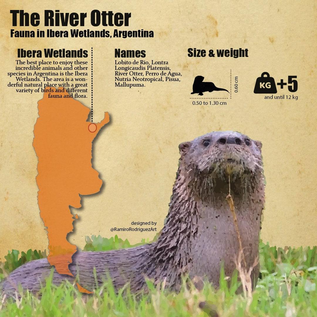 Fauna in Ibera - lobito de rio or river otter infographic