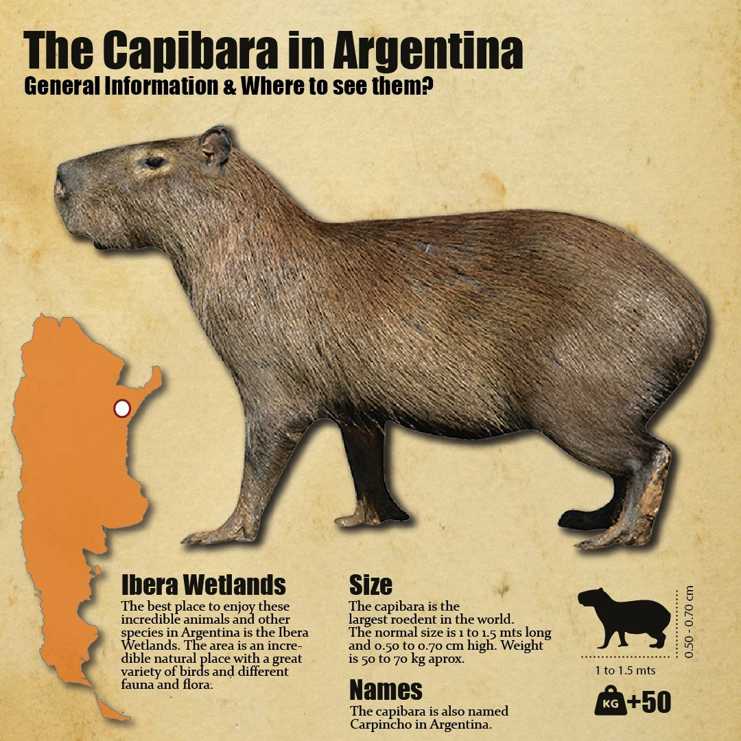 The capibara in Ibera Wetlands, Argentina. General facts and infographic