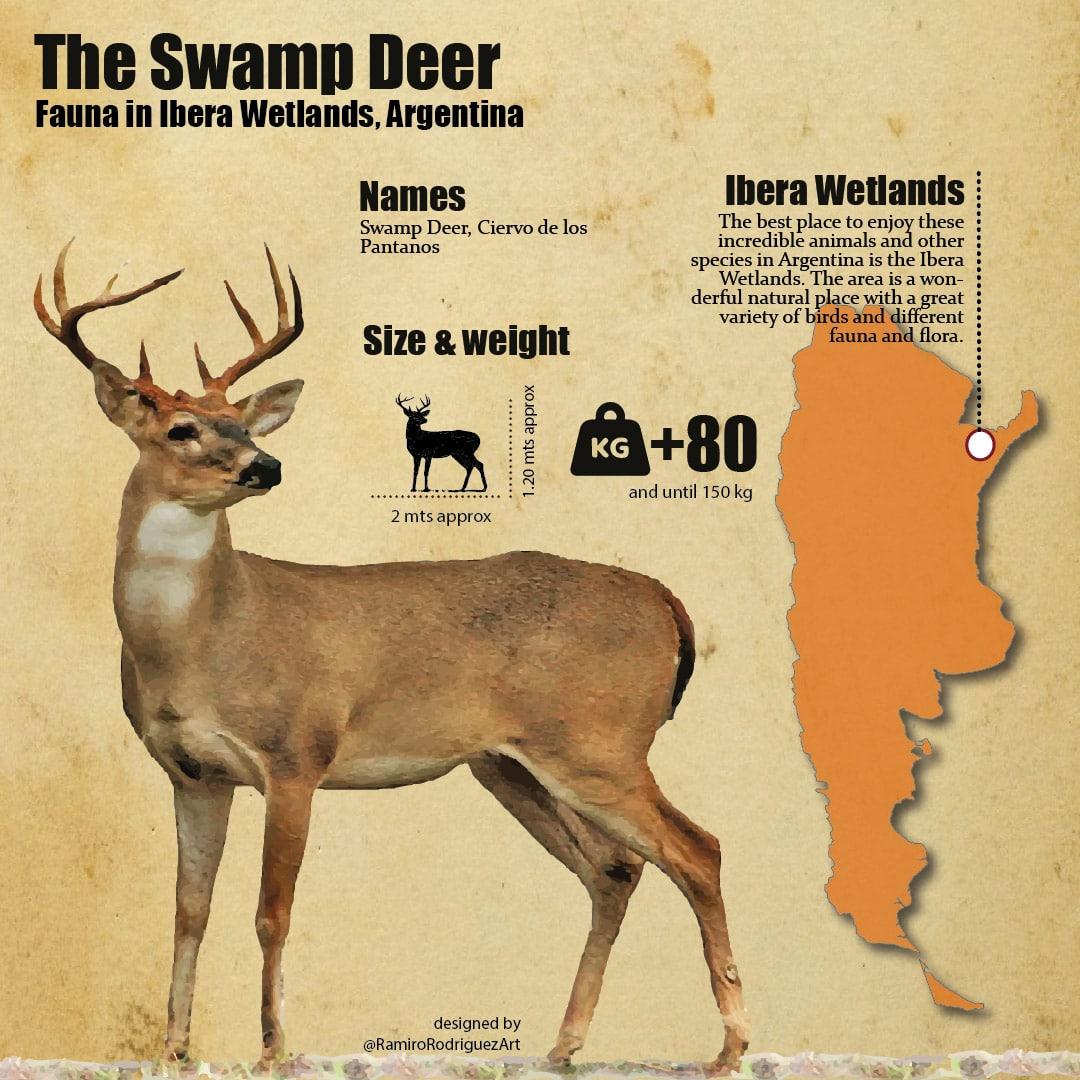 swamp deer infographic - fauna in ibera wetlands
